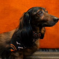 Tito's Vodka Dachshund Co-Woofer of the Month